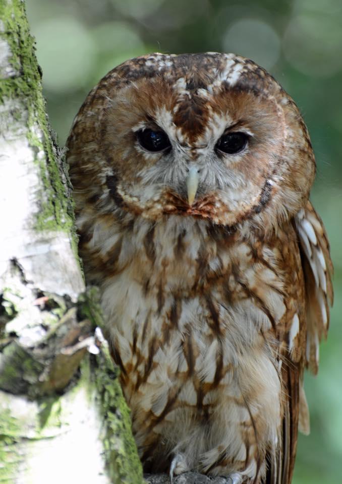 Fudge Tawny Owl