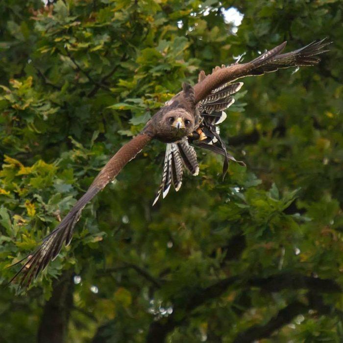 Copper Harris Hawk Flying
